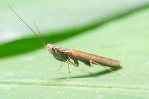 mantis en una hoja foto