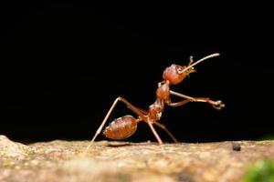 hormiga, foto de primer plano