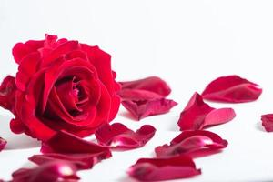 Red rose on white background photo