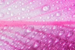 Drops of water on pink petals, close-up photo