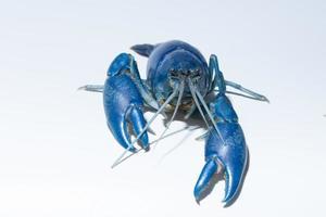 Crayfish blue Cherax Destructor on white background