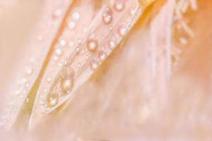 Water drops on pink flower petals photo