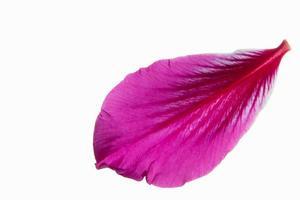 pétalo de flor rosa sobre fondo blanco foto