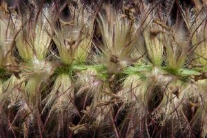 Gotas de agua sobre la flor de pennisetum, close-up foto