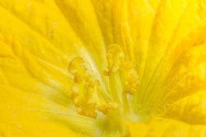Yellow pumpkin flower close-up photo