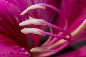 primer plano de polen rosa