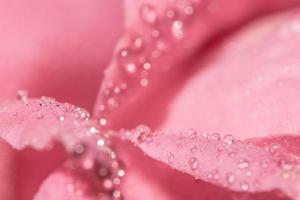 Water drops on rose petals