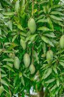 Mango fruits on the tree