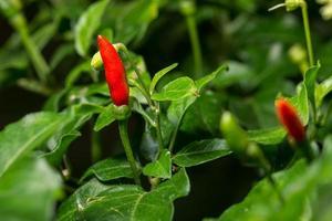 Red chili close-up