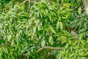 Mango fruits on the tree photo