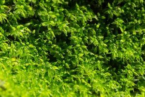 primer plano de musgo de litchi verde foto
