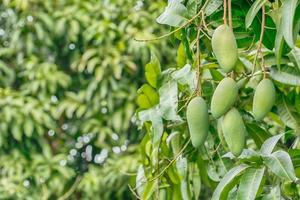 Mango fruits on the tree