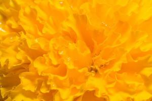 Orange Marigold close-up