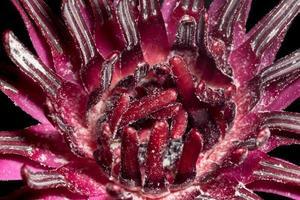 primer plano de flor de loto rojo