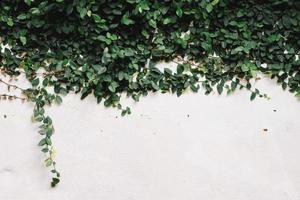 Ivy on white cement photo