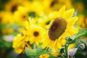 Bright yellow sunflowers photo