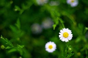 Selective focus white small  daisy flowers with white petals  and yellow core. White wild flowers with blurred green leaves background photo