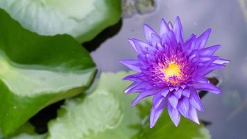 loto violeta que florece en el estanque. flores de loto de color púrpura brillante en el estanque. foto