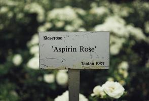 Aspirin rose sign in a garden