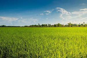 agriculture green rice field and blue sky background . photo