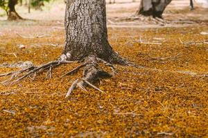 de cerca el enfoque selectivo Fondo otoñal de un bosque colorido con grandes raíces en el suelo y hojas en el suelo. color, hoja. foto