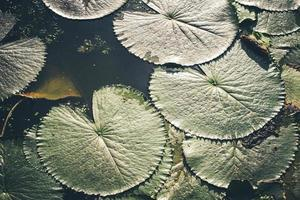 Green lotus leaves texture abstract background.Lotus leaves on water surface top view in eco nature background photo
