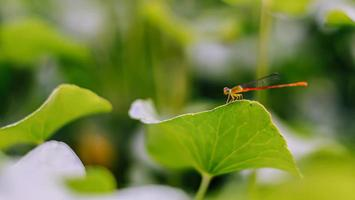 selective focus dragonfly on green leaf . photo