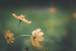 Close up image of soft focus cosmos flower on vintage sepia tone . photo