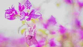 rama de flor de buganvilla rosa floreciente pequeñas flores rosas naturales. verano primavera tiempo encantador. concepto de inicio foto