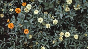 Pequeñas pequeñas flores naranjas y blancas sobre fondo de hojas de color verde oscuro patrón de papel tapiz artístico .fondo de naturaleza