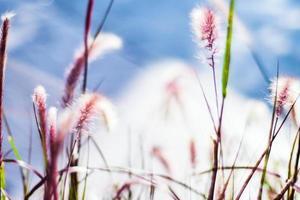 Pink wild grass photo