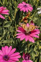 Butterfly on a pink flower photo