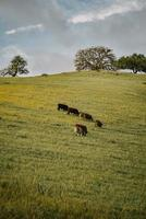 Cows on green grass field photo