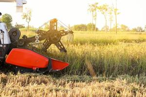 Máquina agrícola cosechadora y cosecha en campo de arroz trabajando