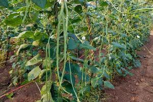 plantas de frijol largo