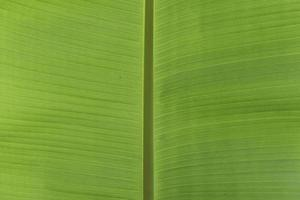 Fresh green banana leaves for background.