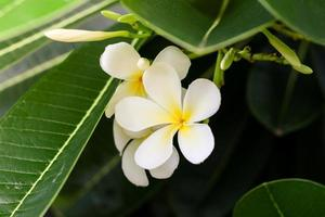 Frangipani flowers white yellow with leaves green