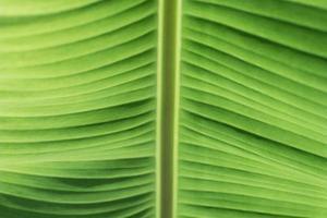 Green banana leaves close up.