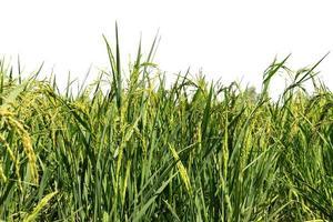 Planta de arroz aislada sobre fondo blanco.