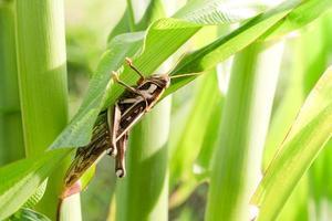 Grasshopper eating corn in garden