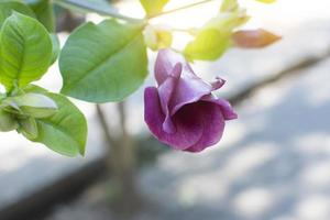 Allamanda blanchetii flower with soft light.