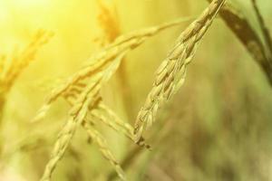 Rice plant in sunlight
