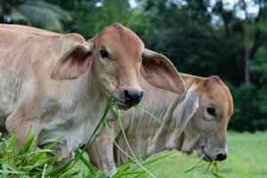 Two cows eating grass photo