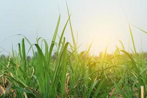 campo de caña de azúcar con luz solar