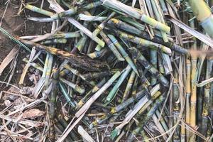 Bunch of sugarcane
