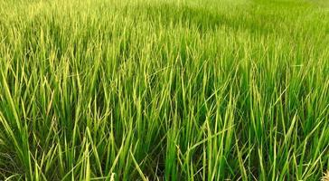 Close-up of a rice field