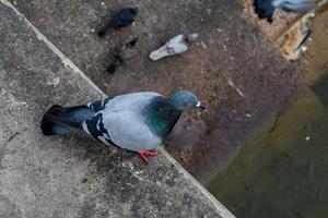 primer plano de una paloma