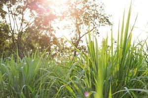 Sugar cane field at golden hour photo