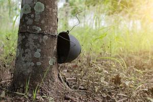 Old rubber plantation, Hevea garden in Thailand.