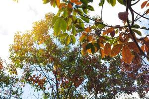 The leaves of the rubber trees are changing color.